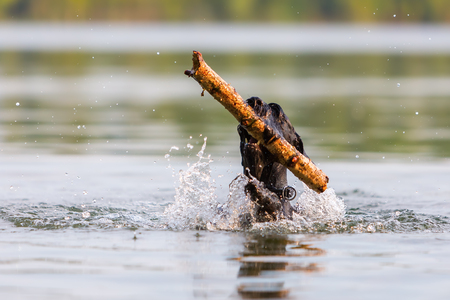 retrieving: Standard Schnauzer retrieving a wooden stick in a lake
