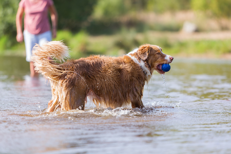 Australian Shepherd dog plays with a ball in the water