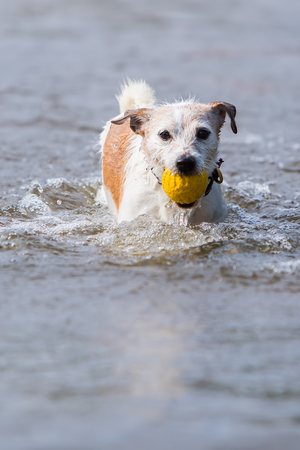 Parson Russell Terrier is retrieving a ball in the water