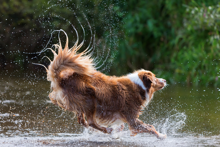 brown colored Australian Shepherd is running in a river with splashing water Stock Photo