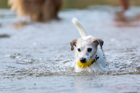 retrieving: Parson Russell Terrier is retrieving a ball in the water