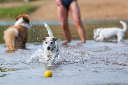man plays with Parson Russell Terrier in the river Stock Photo