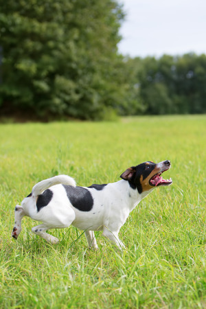 longing: Parson Russell Terrier waits for a ball