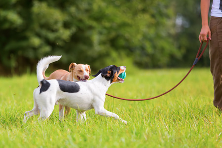 unleashed: woman with a a dog at the leash and a unleashed Parson Russell Terrier