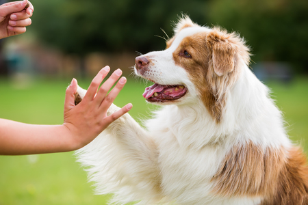 girl gives an Australian Shepherd dog high five