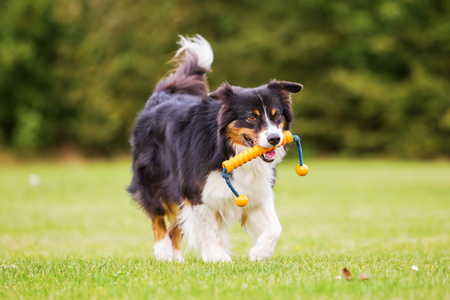 snout: Australian Shepherd dog with a toy in the snout walks on the meadow