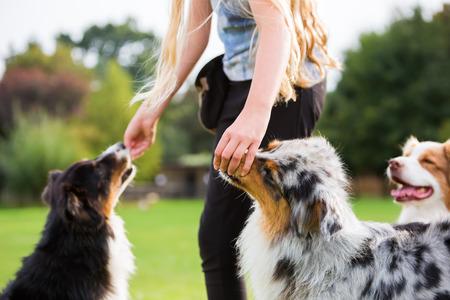 girl gives Australian Shepherd dogs a treat Stok Fotoğraf
