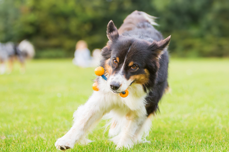 snout: Australian Shepherd dog running with a toy in the snout