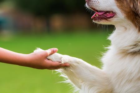 オーストラリアン シェパードの犬は、少女を与える足 写真素材