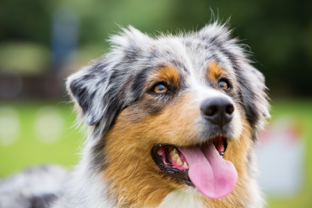 head portrait of an Australian Shepherd dog Stock Photo