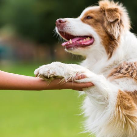 Australian Shepherd dog gives a girl the paw Zdjęcie Seryjne