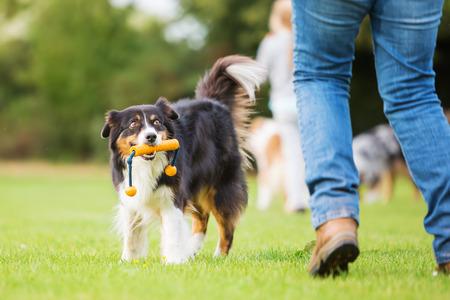 Australian Shepherd dog retrieving a toy to a woman