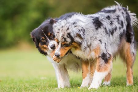 two Australian Shepherd dogs fighting for a food bag