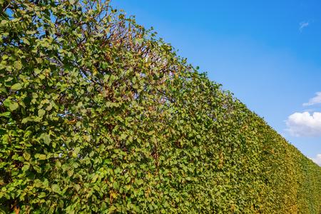 일반적인 서어 나무속 울타리와 푸른 하늘 그림