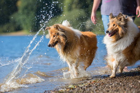 playing with collie dogs at a lake