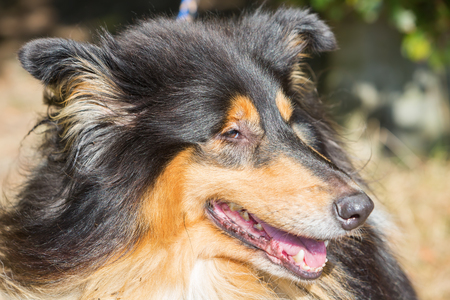 snout: face closeup with eyes and snout of a collie dog Stock Photo
