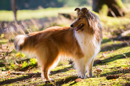 backlit: backlit portrait of a collie dog in the forest