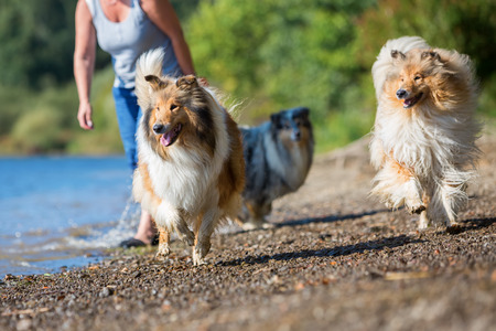 collie dog runs after a thrown toy at the border of a lake Stock Photo