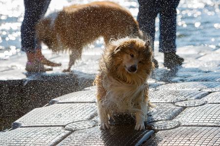 headbang: wet collie dog shaking the head on a jetty Stock Photo