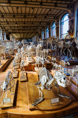 Paris, France - October 16, 2016: skeletons of animals in the Gallery of Palaeontology and Comparative Anatomy in Paris. Is a part of the National Museum of Natural History in the Jardin des Plantes
