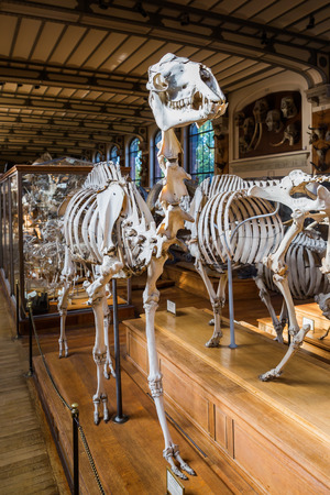 skeletons of animals in the Gallery of Palaeontology and Comparative Anatomy in ParisParis, France - October 16, 2016: skeletons of animals in the Gallery of Palaeontology and Comparative Anatomy in Paris. Is a part of the National Museum of Natural Histo