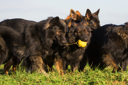 pack of Old German Shepherd Dogs fighting for a toy Stock Photo
