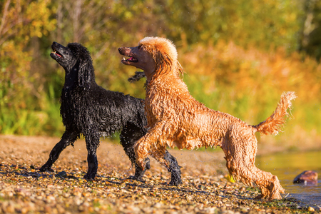 two royal poodles coming wet out of the lake Stock Photo