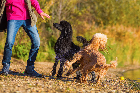 longing: two wet royal poodles waiting that a woman throws a ball in the lake