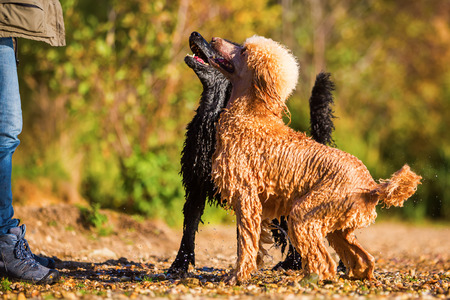 two wet royal poodles waiting that a woman throws a ball in the lake