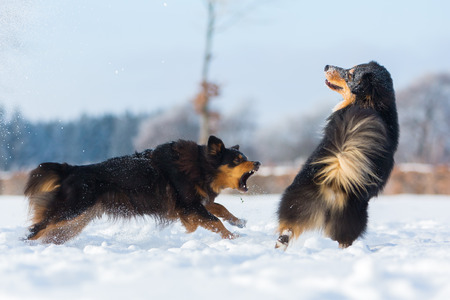 barking: two Australian Shepherd dogs running and barking in the snow
