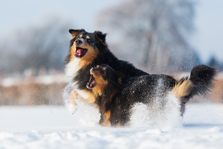 two Australian Shepherd dogs running and barking in the snow