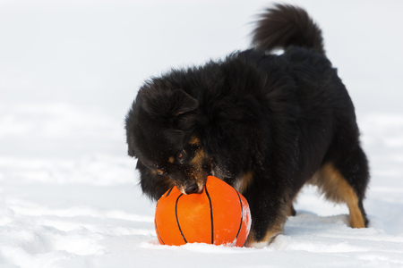 Australian Shepherd dog with a ball in the snout playing in the snow