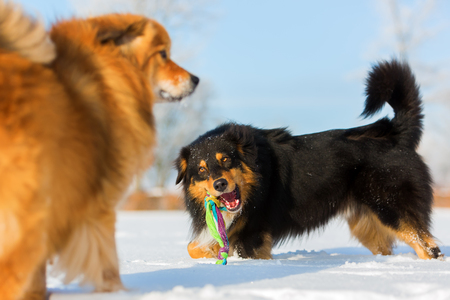 picture of an Australians Shepherd and an Elo dog, they are playing in the snow