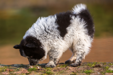 fecal: picture of an Elo puppy sniffing at dog fecal Stock Photo