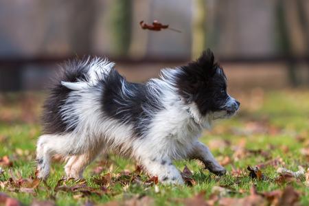 cute Elo puppy walking on the meadow Stock Photo