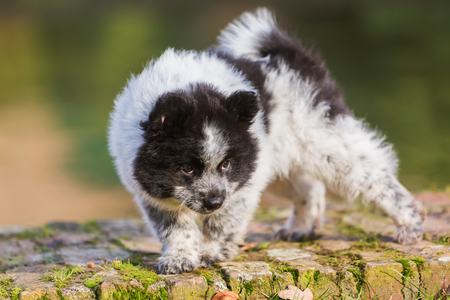 picture of an Elo puppy walking on a brick wall