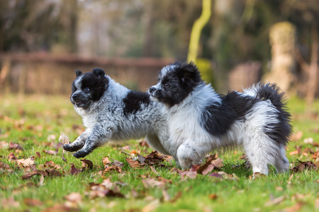 romp: picture of two Elo puppies scuffling outdoors
