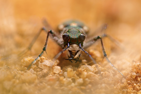 frontal macro portrait of a tiger beetle