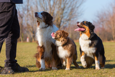 portrait of three Australian Shepherd dogs, one puppy and two adult dogs