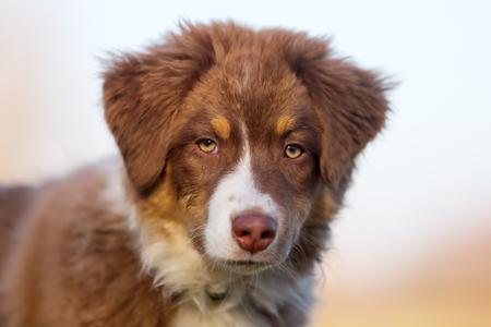 head portrait of a cute Australian Shepherd puppy Stock Photo