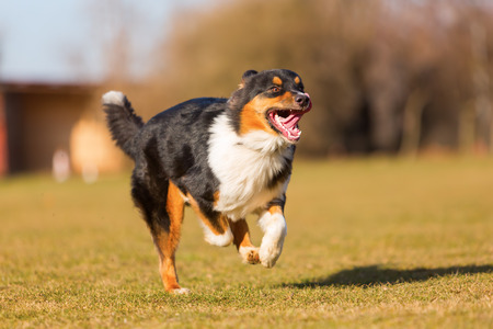 picture of an Australian Shepherd dog running on the meadow