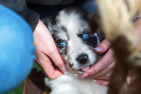woman caress with a cute Australian Shepherd puppy