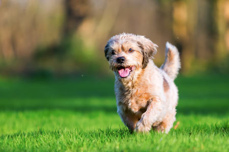 picture of a cute older dog running on the meadow