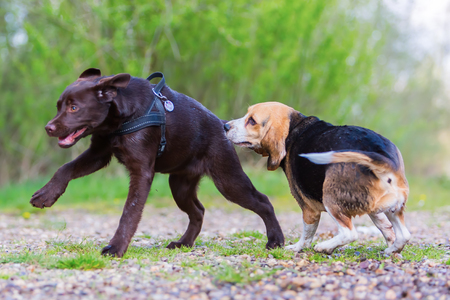 Beagle dog plays with a Labrador puppy outdoors