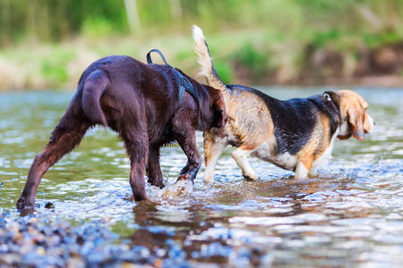 picture of a Labrador puppy sniffling at the back of a Beagle