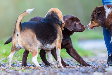 meeting of a Beagle, a Labrador puppy and an Australian Shepherd dog outdoors