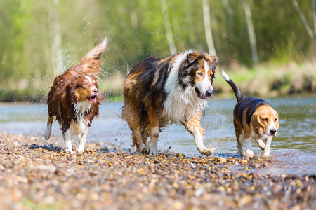 picture of a Collie-Mix dog a Beagle and an Australian Shepherd running in a river