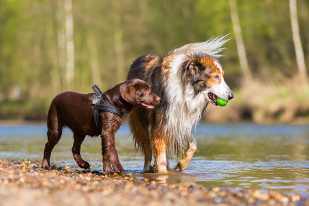 Collie-Mix and Labrador puppy playing at the river
