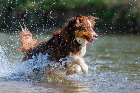 川の中を実行しているオーストラリアン シェパードの写真