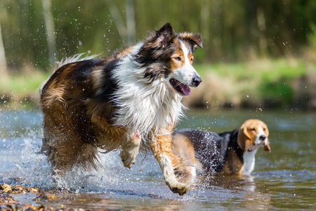 beagle mix: picture of a Collie-Mix dog and an Australian Shepherd running in a river Stock Photo